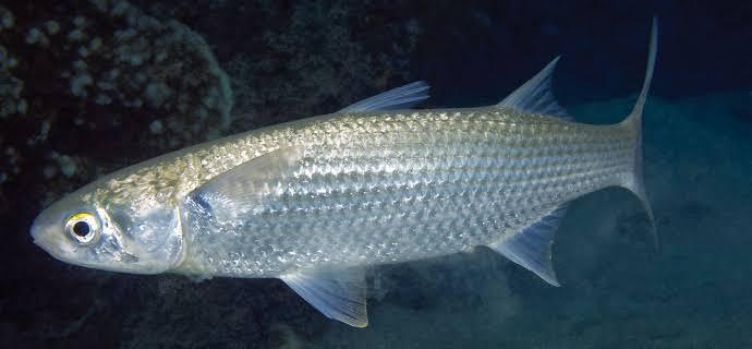 Umpan ikan belanak di muara