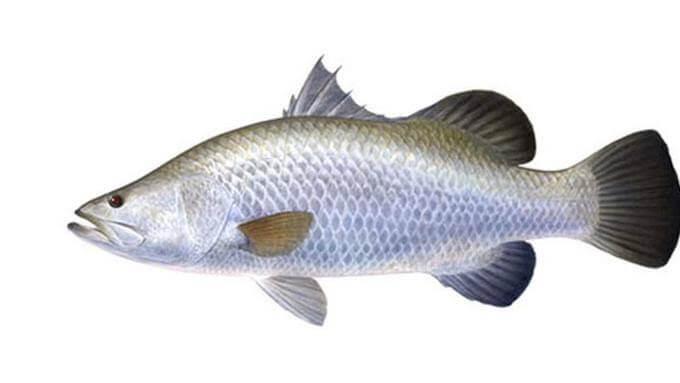 Umpan ikan kakap putih