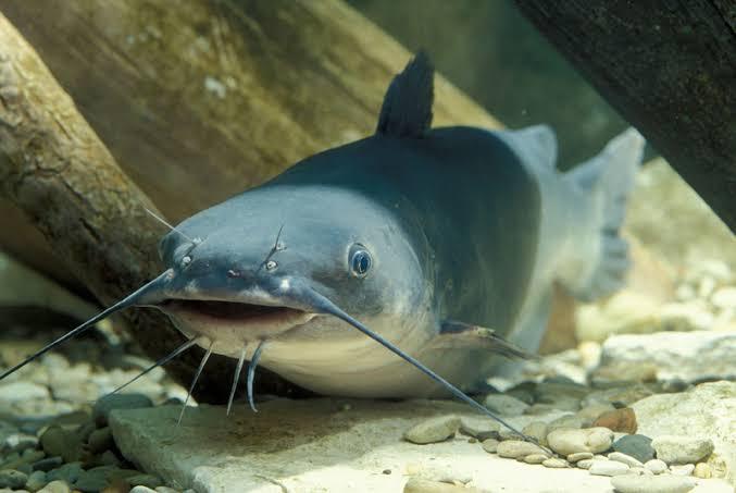 25 Umpan Ikan Lele Galatama Liar Harian Malam Hari Sungai Dll