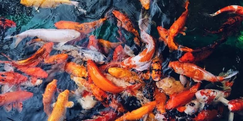 Gambar ikan mas merah