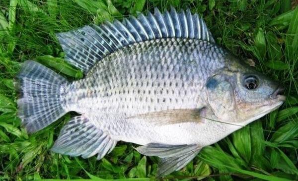 Racikan umpan ikan mujair