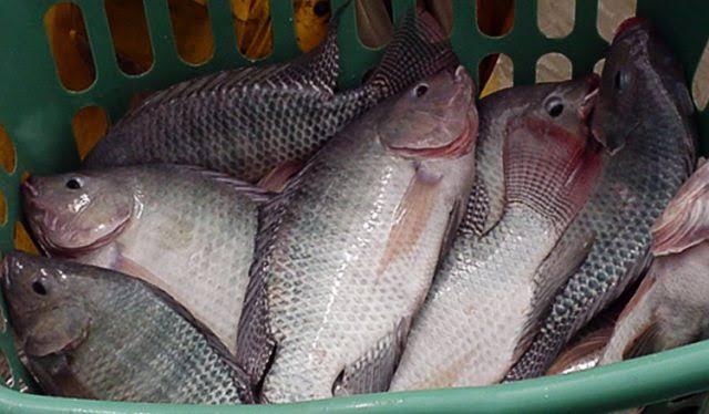 Jenis jenis ikan air tawar