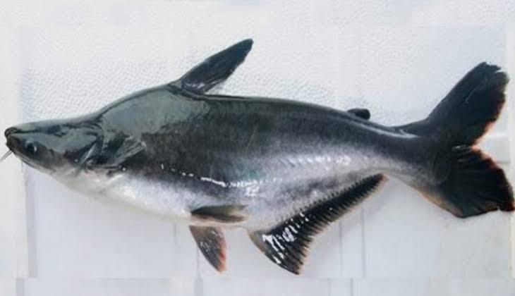 20 Umpan Ikan Patin Sungai Liar Danau Kolam Lomba Dll