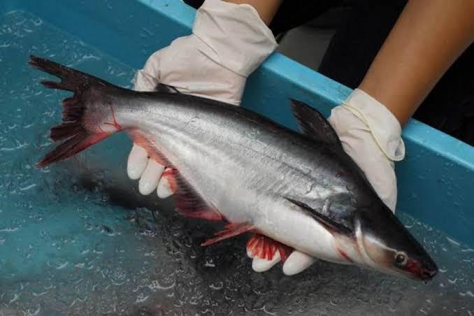 Umpan mancing ikan patin