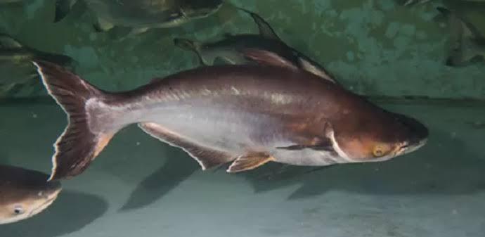 Umpan ikan patin paling jitu
