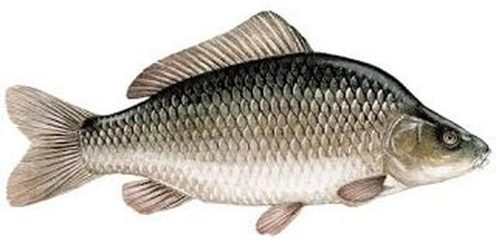 Cara mancing ikan tombro