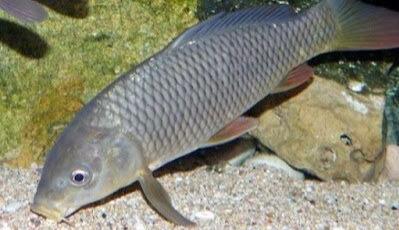 17 Umpan Ikan Tombro Majalaya Sederhana Sungai Malam Hari Dll