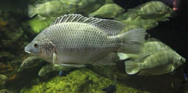 Ikan nila paling besar