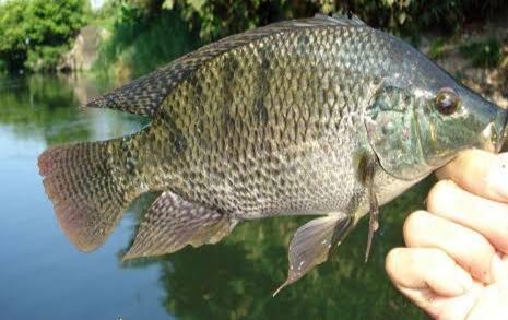 Umpan mancing ikan nila