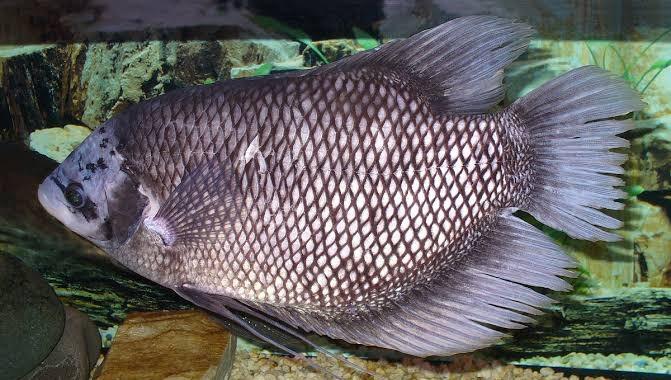 Umpan ikan gurame