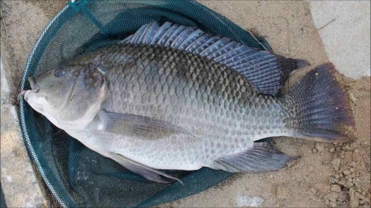 Umpan ikan nila harian