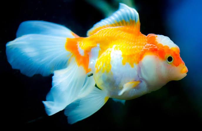 Karakteristik ikan mas