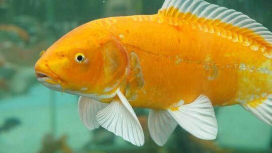 Ciri-Ciri Ikan Mas Hias dan Konsumsi