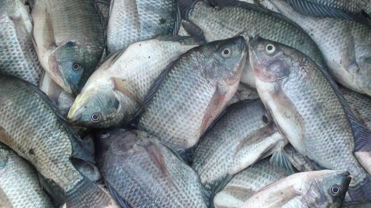 Ciri-Ciri Ikan Nila