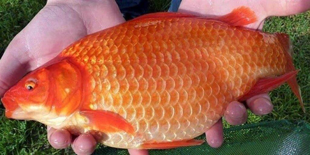 Ikan mas yang boleh dimakan