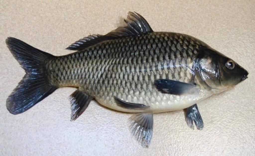 Pilihan ikan mas yang enak