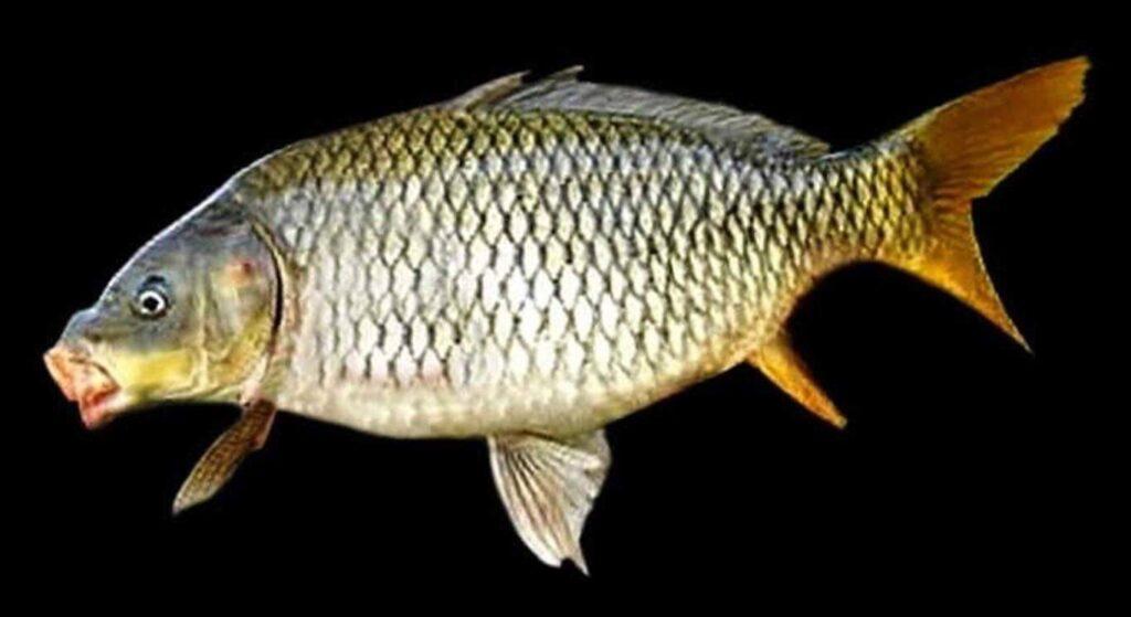 Ikan air tawar untuk dikonsumsi