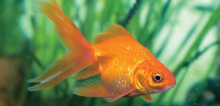 Morfologi dan Klasifikasi Ikan Mas