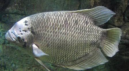 Makanan ikan besar di sungai