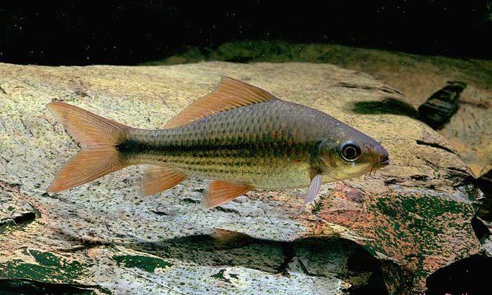 Umpan mancing ikan nilem