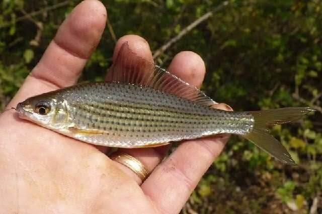 Makanan ikan nilem