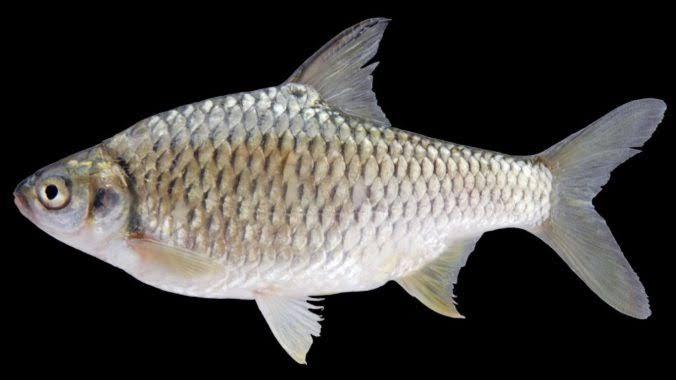 Umpan ikan tawes alami