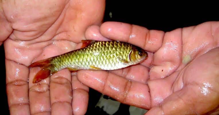 Umpan ikan wader
