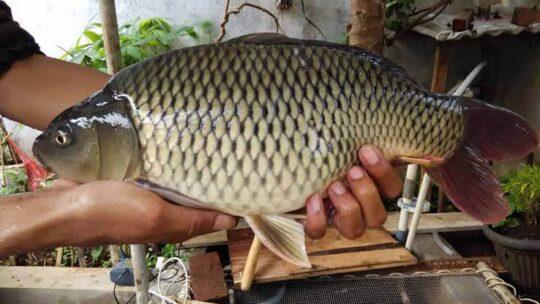 Umpan Pelet Ikan Mas