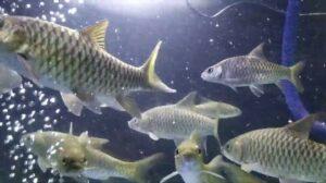 Umpan ikan Mahseer