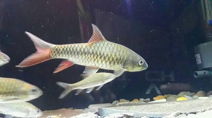 Racikan umpan alami ikan mahseer
