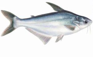 Cara mancing ikan Patin
