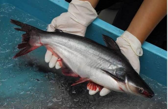 Teknik memancing ikan patin