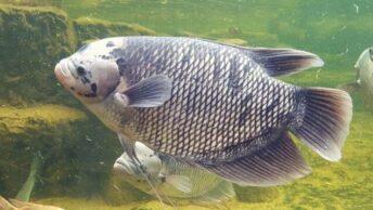 Cara mancing ikan mujair