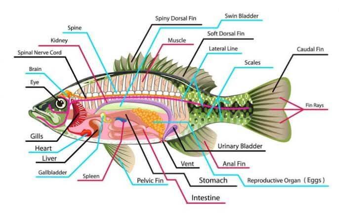 Morfologi Ikan Gurame