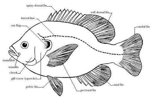 Morfologi Ikan Nila