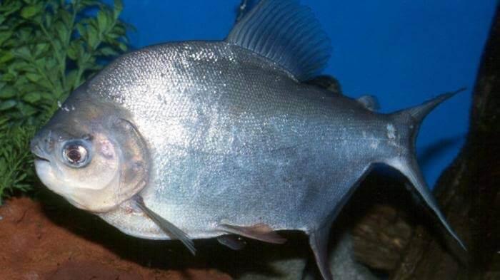 Umpan ikan bawal menggunakan buah