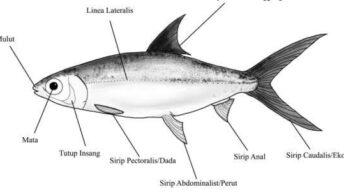 Morfologi ikan bandeng