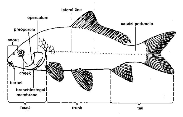 Morfologi Ikan Koi