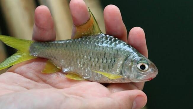 Teknik mancing ikan tawes sungai