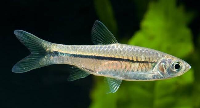 Umpan Ikan Seluang