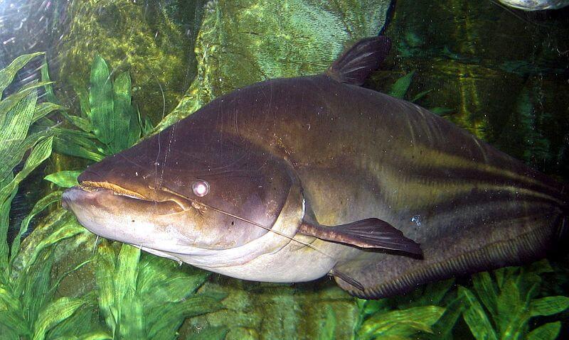 Umpan Ikan tapah