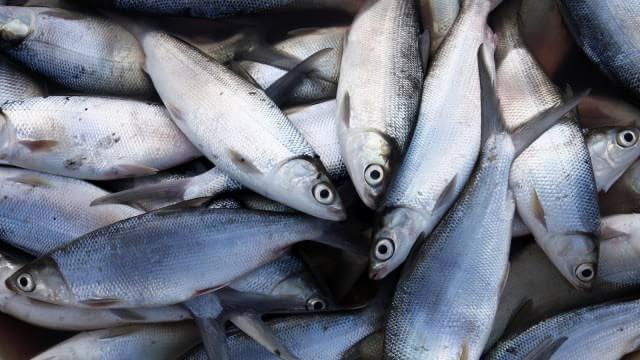 Umpan mancing ikan bandeng