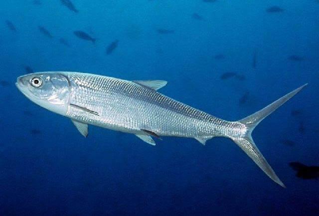 Tips mancing ikan bandeng