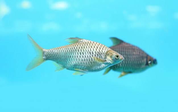 Trik mancing ikan tawes