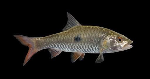 Umpan ikan hampala