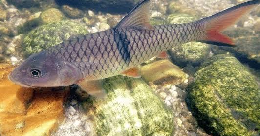 Umpan mancing ikan palung