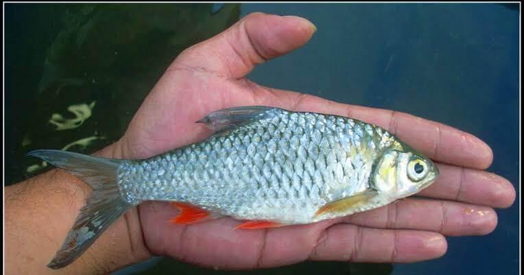 Umpan ikan dari usus ayam