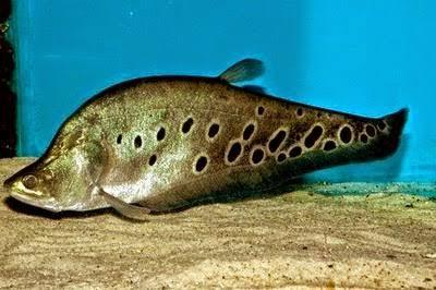 Umpan ikan belida