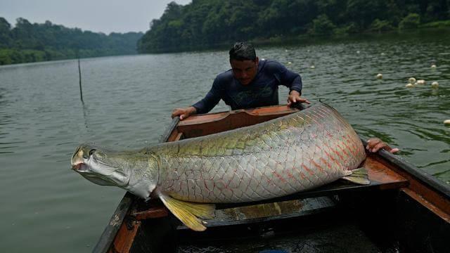 Cara mancing ikan besar di sungai