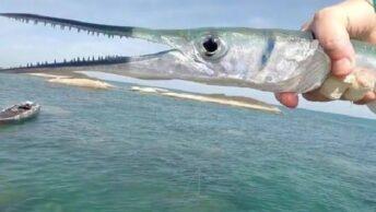 Umpan ikan Cendro